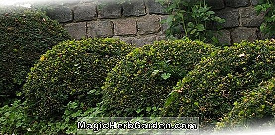Taxus baccata (Argentea Minor English Yew) - #2