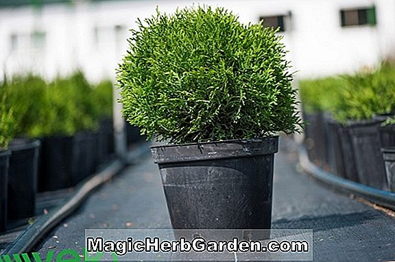 Thuja occidentalis (Tiny Tim American Arborvitae) - #2