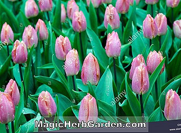 Tulipa (Early Light Tulip)