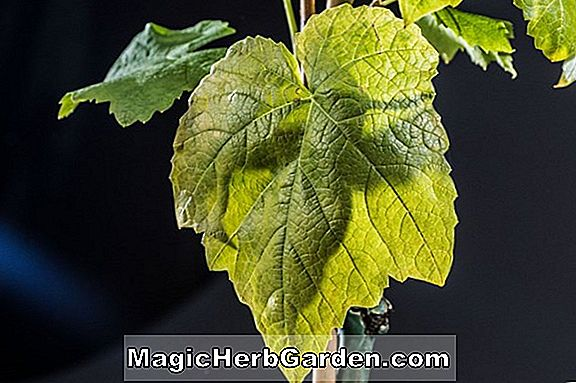 Vitis (Lakemont Seedless Grape)