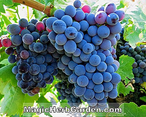 Vitis vinifera (Grenache Grape)