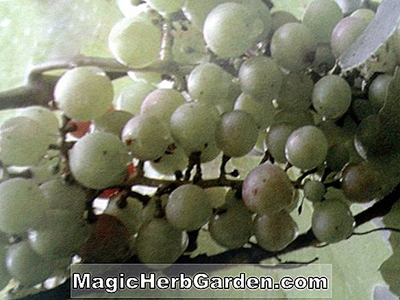 Vitis vinifera (Lady Finger Grape)
