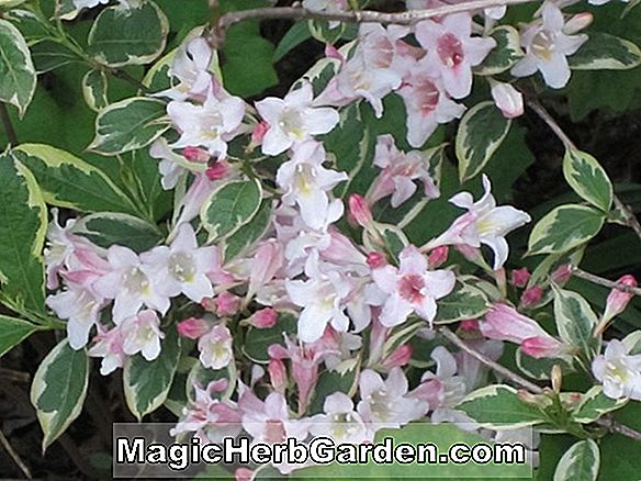 Weigela florida (Variegated Weigela)