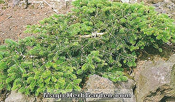 Abies cephalonica (Dwarf Greek Fir)