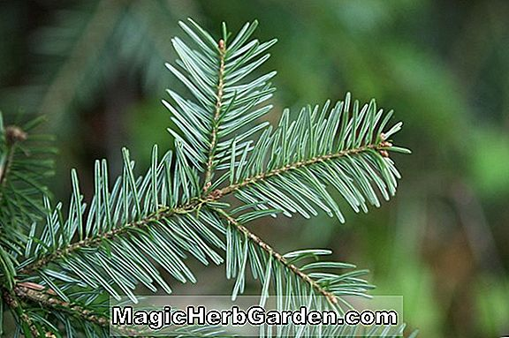 Abies concolor (Canadian White Fir)