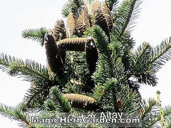 Tumbuhan: Abies lasiocarpa (Arizona Fir)