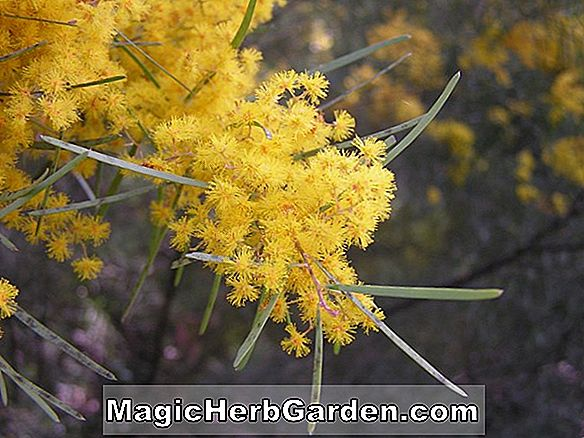 Acacia boormanii (Snowy River Wattle)