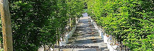 Acer campestre (Fastigiatum Hedge Maple)