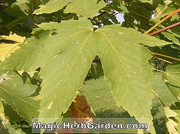 Acer heldreichii (Maple Yunani)