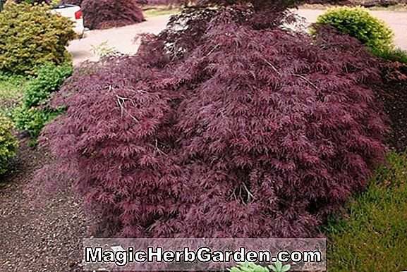 Acer palmatum (Roseomarginatum Japanese Maple)