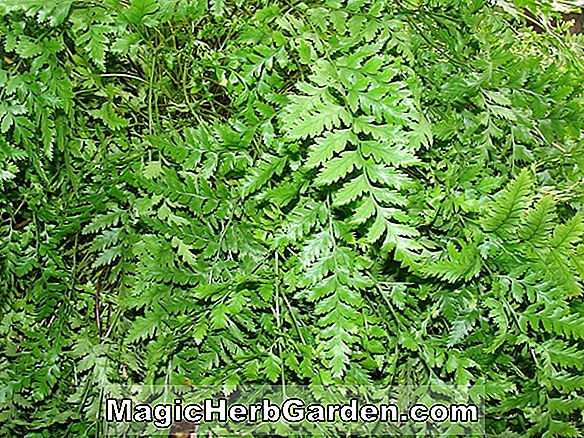 Adiantum raddianum (Ocean Spray Maidenhair Fern)