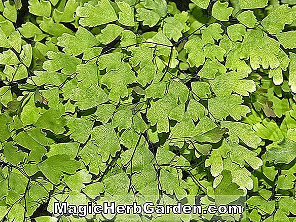 Adiantum tenerum (Green Glory Maidenhair Fern)