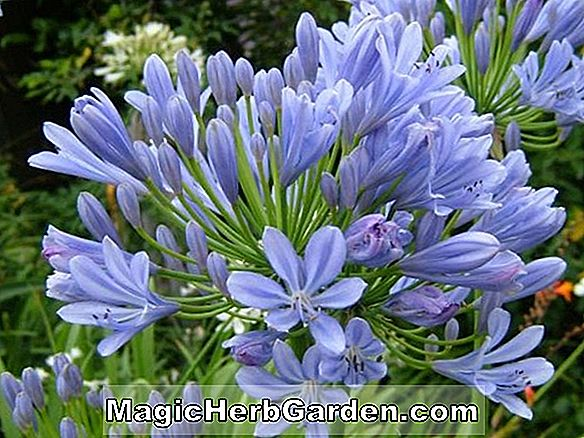 Agapanthus (Alice Gloucester Lily of the Nile)