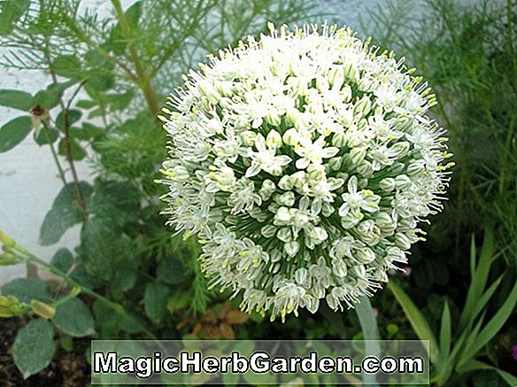 Allium cepa (Wethersfield Large Red Onion)