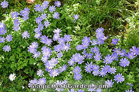 Anemone blanda (Radar Windflower)