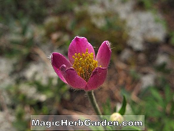 Anemone multifida (Windflower)