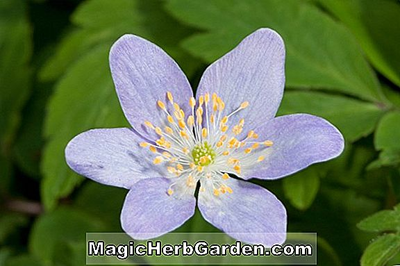 Anemone nemorosa (Royal Blue Wood Anemone)