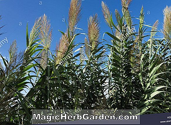 Arundo donax (Striped Giant Reed)