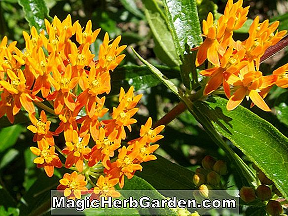 Asclepias tuberosa (Colorado Butterfly Weed)