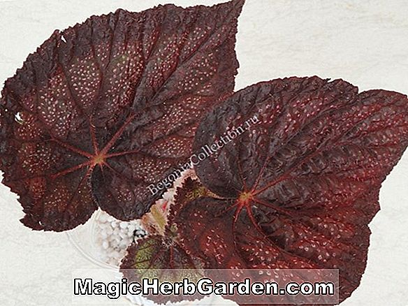 Begonia (Black Knight Begonia)