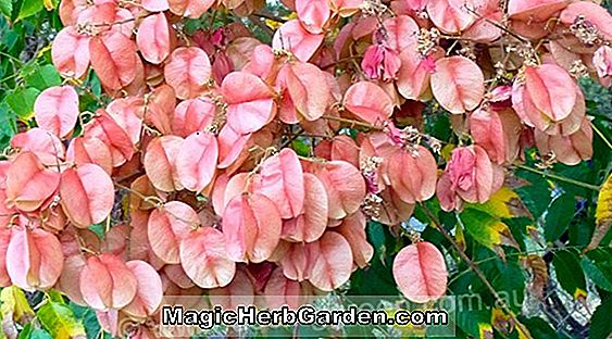 Tumbuhan: Begonia Annette (Annette Begonia)