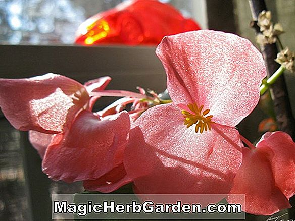 Begonia Bow Ling (Bow Ling Begonia)