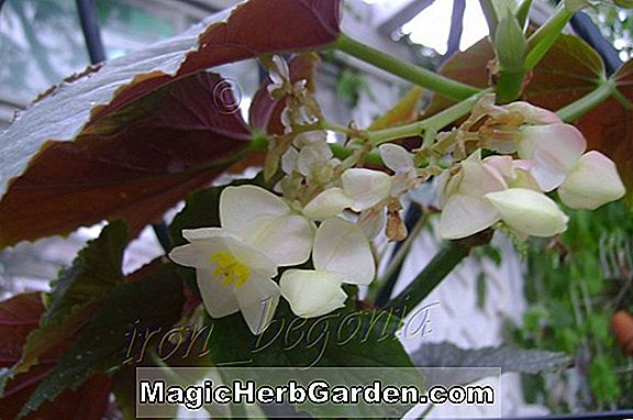 Tumbuhan: Begonia Chocolate Soldier (Chocolate Soldier Begonia)