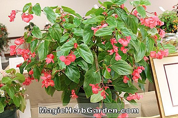 Begonia Corliss Eagle (Corliss Eagle Begonia) - #2
