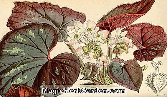 "Begonia ex Kew species (Begonia ""ex Kew species"") - #2"
