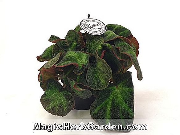 Begonia Hawaii Fifty (Hawaii Lima Puluh Begonia) - #2