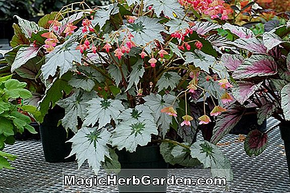 Tumbuhan: Begonia Heartthrob (Heartthrob Begonia) - #2