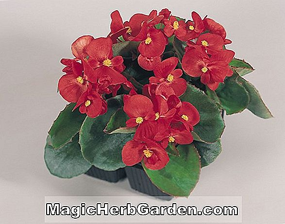 Tumbuhan: Begonia Olympia Red (Olympia Red Begonia)