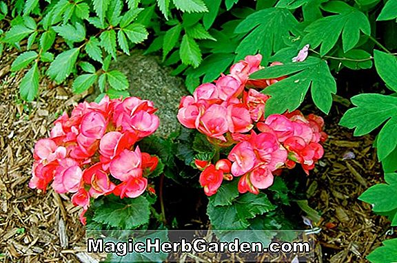 Begonia Speckled So (Speckled So Begonia)