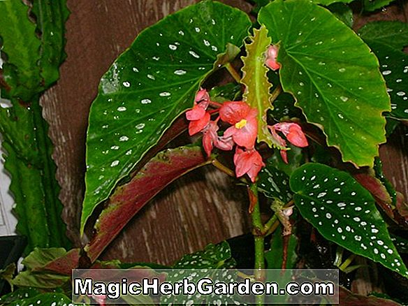 Tumbuhan: Begonia Texas Beauty (Texas Beauty Begonia)
