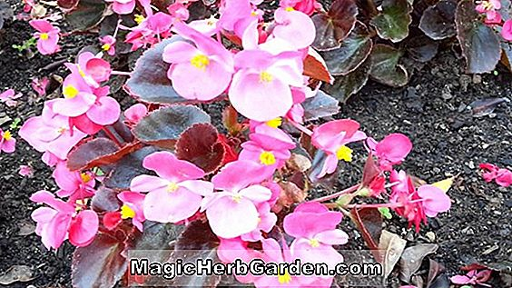 Tumbuhan: Begonia White Bellybutton (White Bellybutton Begonia) - #2