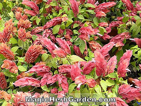 Tumbuhan: Beloperone guttata (Beloperone Shrimp Plant)