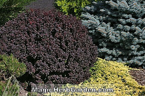 Tumbuhan: Berberis thunbergii (Helmond Pillar Japanese Barberry) - #2