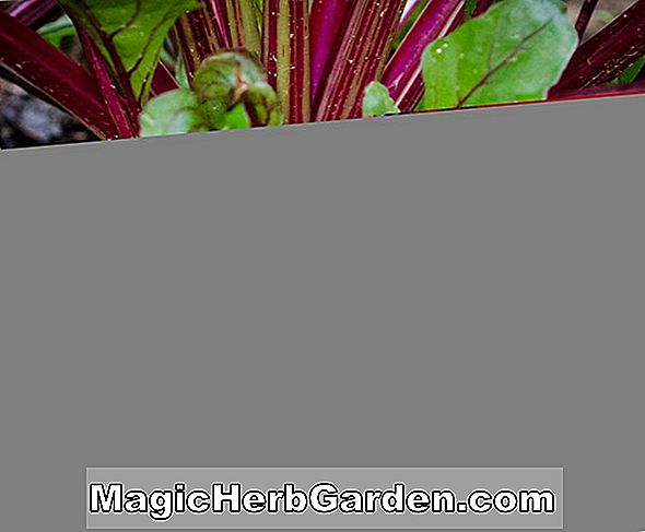 Beta vulgaris (Green Chard)