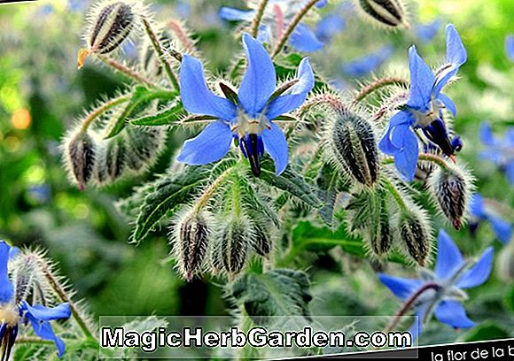 Borago officinalis (White Cool-Tankard)