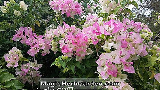 Bougainvillea x buttiana (Apple Blossom Bougainvillea)