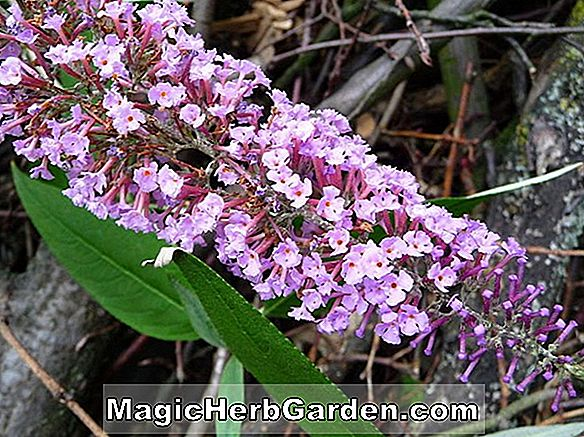 Buddleia davidii (Raspberry Wine Summer Lilac)