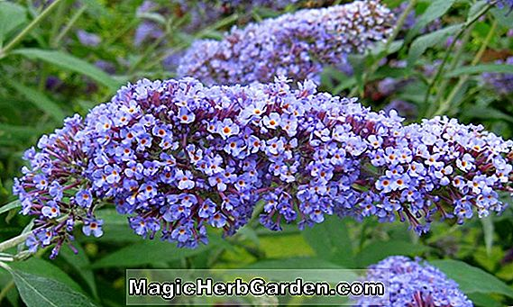 Buddleia davidii (Royal Red Summer Lilac)