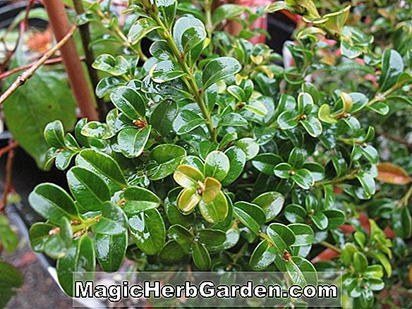 Buxus microphylla (Curly Locks Small-Leaved Boxwood)