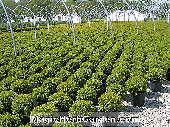 Buxus sempervirens (Vardar Valley Boxwood) - #2