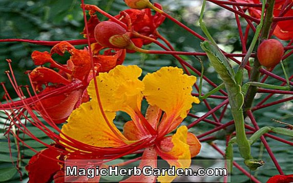 Caesalpinia mexicana (Mexican Bird of Paradise)