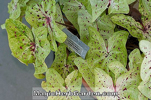Caladium bicolor (June Bride Caladium)