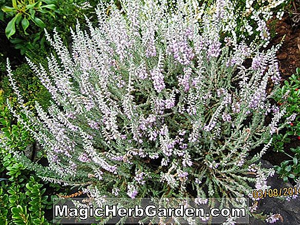 Calluna vulgaris (Spring Cream Heather)