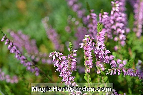 Calluna vulgaris (J.H. Hamilton Heather)
