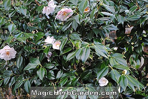 Camellia japonica (Great Sacred Shinto Dance Red Camellia) - #2