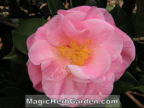 Tumbuhan: Camellia japonica (Allen's Pink Camellia)